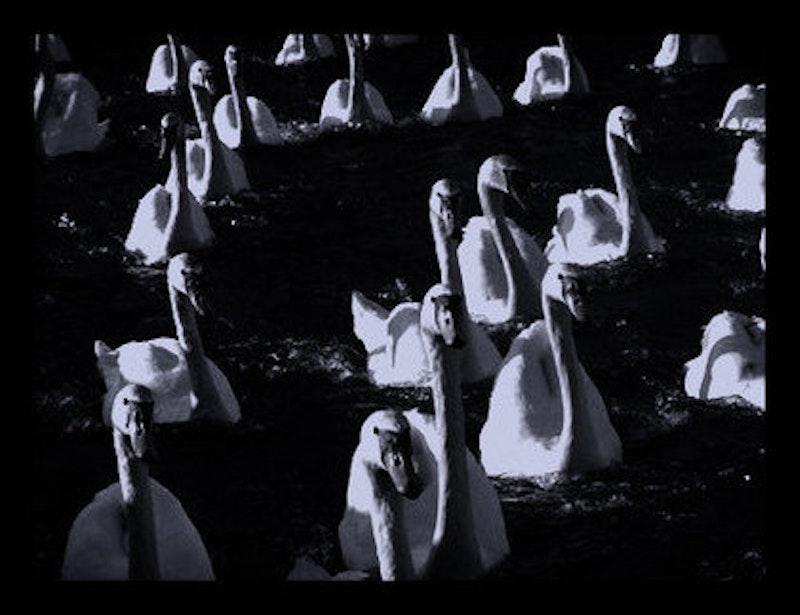 Rsz 1rsz swans.jpg?ixlib=rails 2.1
