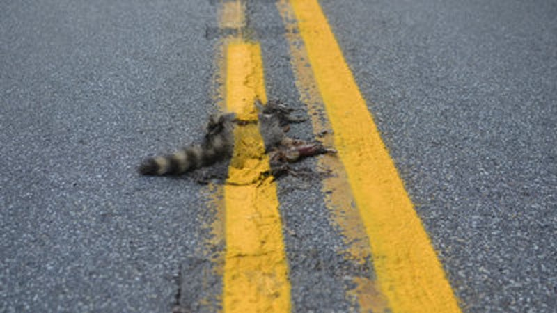 Rsz ht road kill racoon nt 120810 wmain.jpg?ixlib=rails 2.1