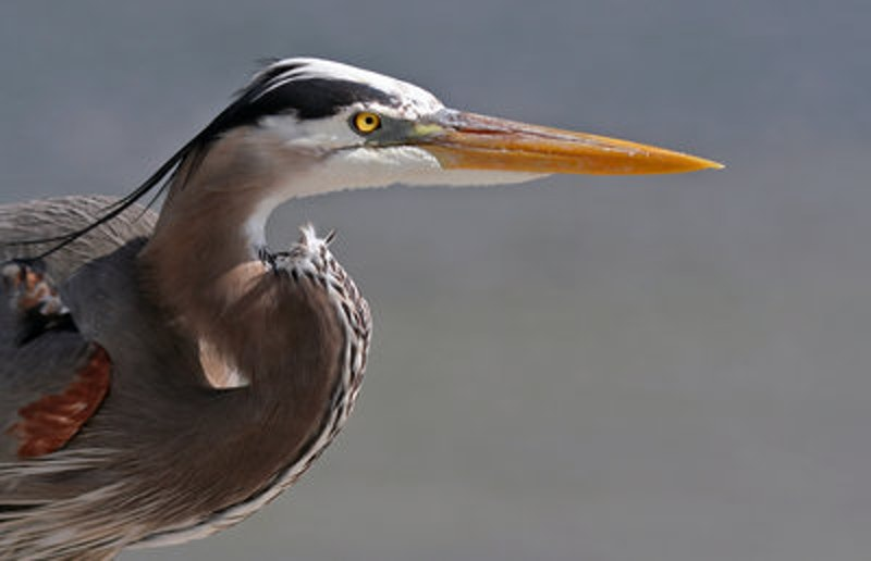 Rsz 1great blue heron portrait.jpg?ixlib=rails 2.1