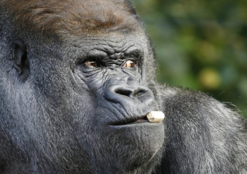 Western lowland gorilla.jpg?ixlib=rails 2.1