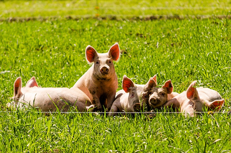 Pigs flickr nicholaserwin web.jpg?ixlib=rails 2.1