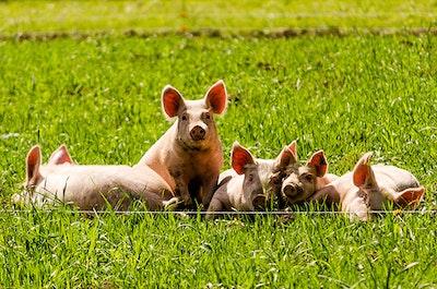 Pigs flickr nicholaserwin web.jpg?ixlib=rails 2.1