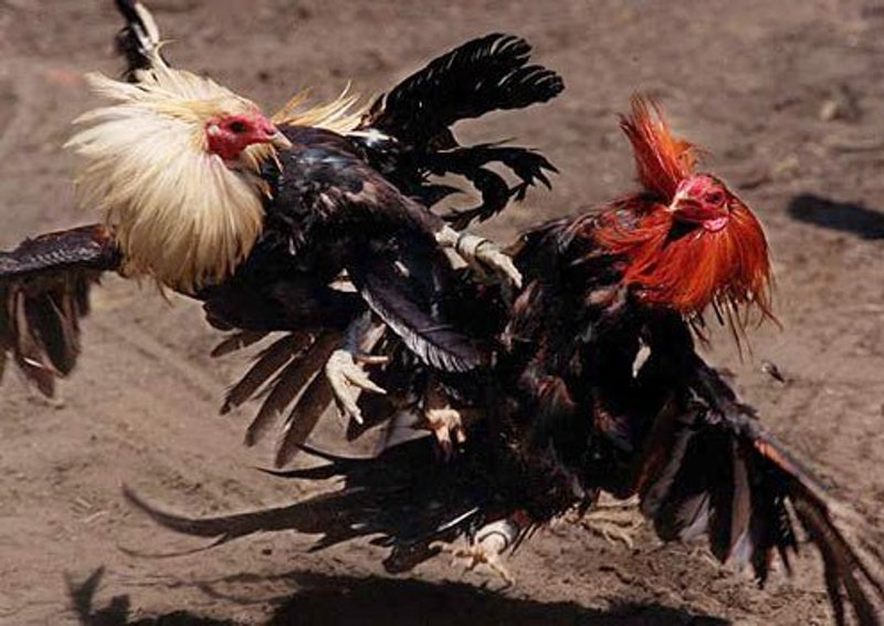 Cock fighting.jpg?ixlib=rails 2.1