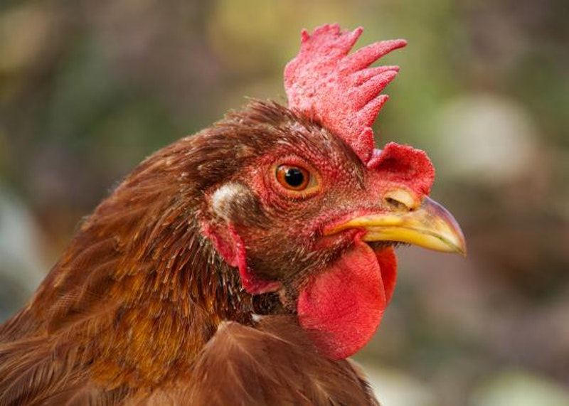 160810 sci skeptical chicken.jpg.crop.promo mediumlarge.jpg?ixlib=rails 2.1
