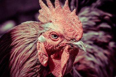 Angry rooster by pjohnny d64v9tg.jpg?ixlib=rails 2.1