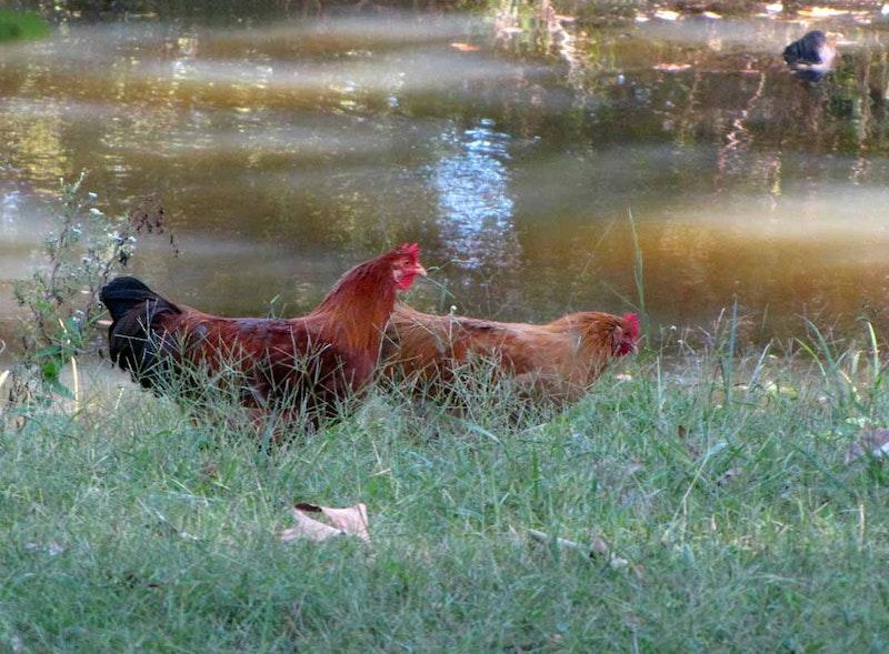 10 08 10 chickens 5837.jpg?ixlib=rails 2.1