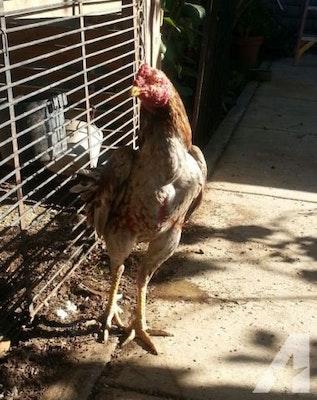 Thai rooster ga noi 10months for sale americanlisted 39146975.jpg?ixlib=rails 2.1