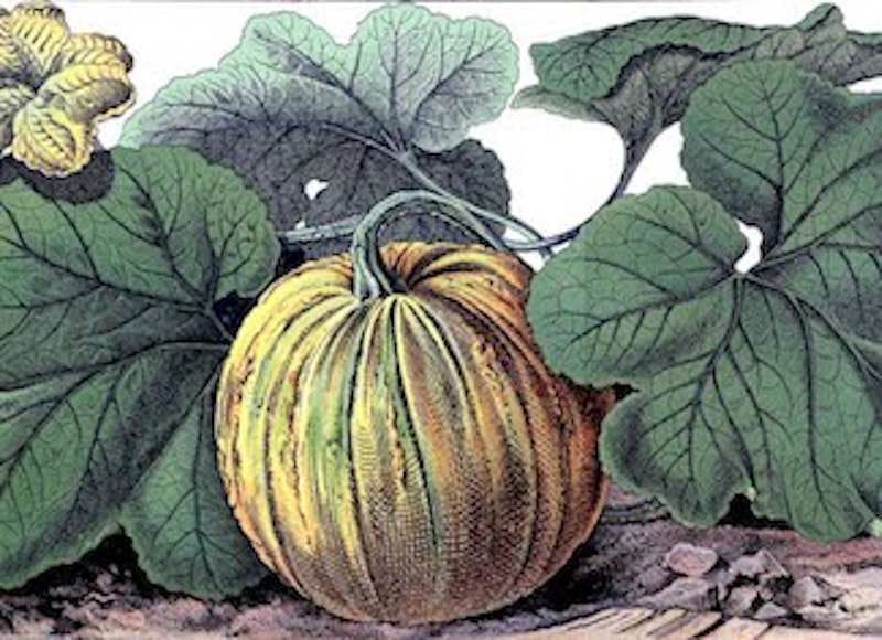 Pumpkin botanical vintage graphicsfairysm2.jpg?ixlib=rails 2.1