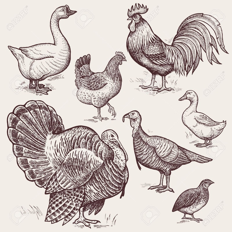 59412984 vector illustration set poultry goose rooster chicken turkey duck quail a series of farm animals gra.jpg?ixlib=rails 2.1