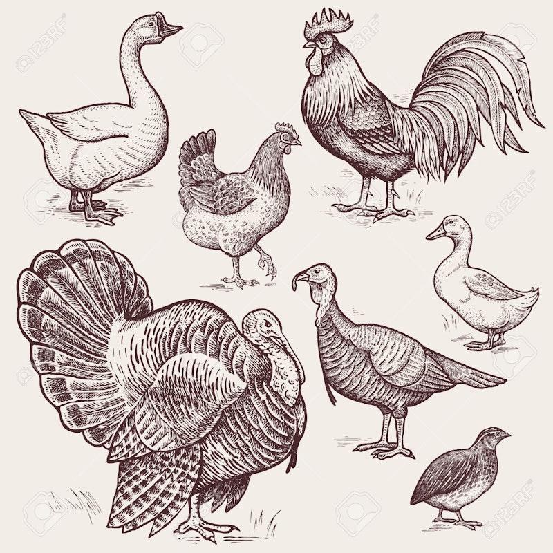59412984 vector illustration set poultry goose rooster chicken turkey duck quail a series of farm animals gra.jpg?ixlib=rails 2.1