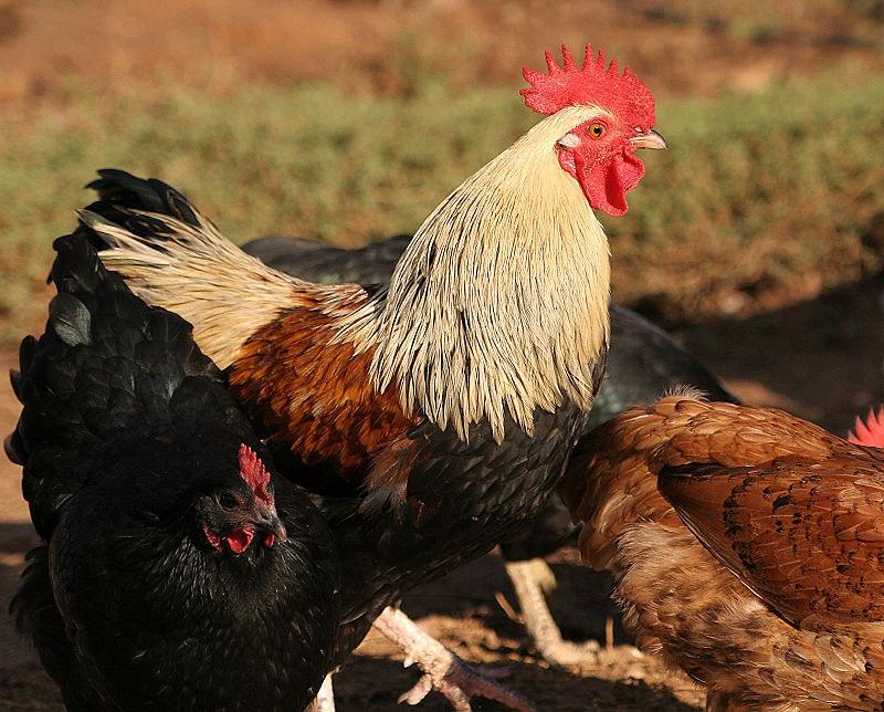 800px rooster02.jpg?ixlib=rails 2.1