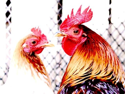 Hen and rooster.jpg?ixlib=rails 2.1