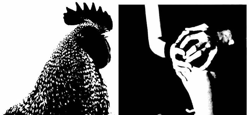 Rooster comb 3.jpg?ixlib=rails 2.1