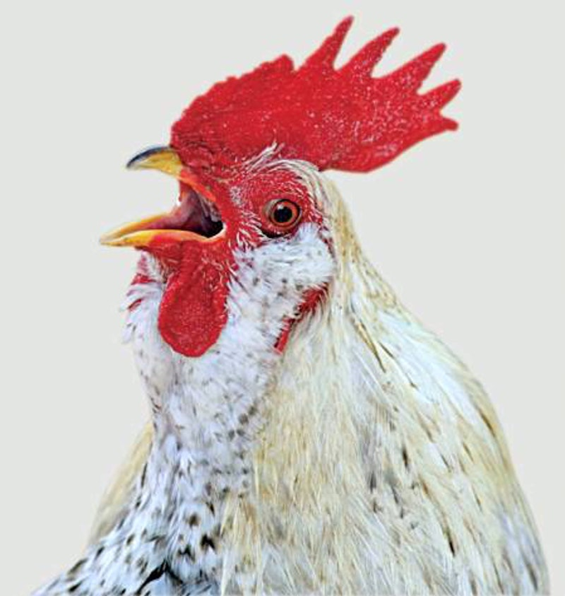 Rooster no credit t600.jpg?ixlib=rails 2.1