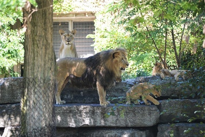 Njparisi lion pride 2016 7033.jpg?ixlib=rails 2.1