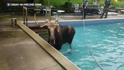 100219 wls moose in pool raw vid.jpg?ixlib=rails 2.1