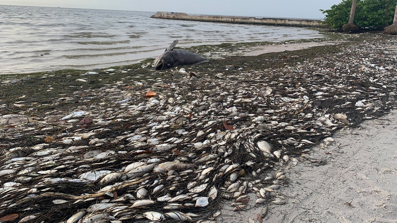 The Vicious Red Tide Has Invaded Florida's Gulf Coast | www.splicetoday.com