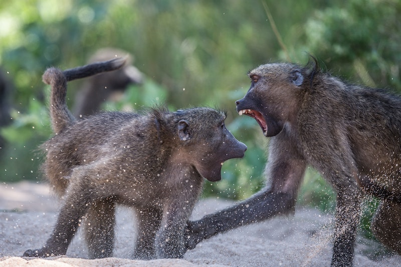 Aggression is infectious among groups of monkeys.jpg?ixlib=rails 2.1