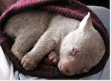 Wombat in a hat.jpg?ixlib=rails 2.1